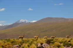 Ren Vicuna, ist die klienste Lama-Art